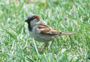 Male House Sparrow  photo by Joaquim Alves Gaspar