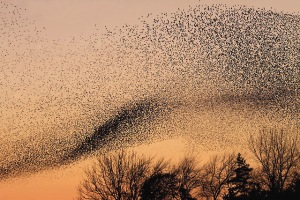 A murmuration, or flock, of European Starlings  Photo by Walter Baxter