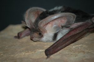The Spotted Bat sports some outlandish ears.  Photo by Dan Neubaum