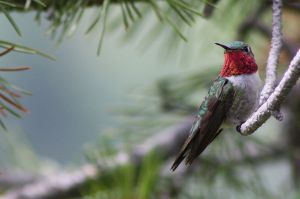 Broad-tailed Hummingbird (Selaphorus platycercus) photo by Kati Fleming