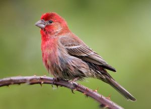 House Finch (Carpodacus mexicanus) Photo by Nigel