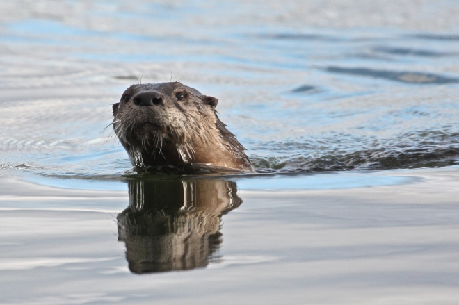 A river otter surfaces in Fruita, CO.  Photo by Brett Walker