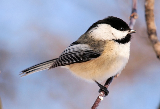 Black-capped Chicadee, photo by Alain Wolf (Wikimedia Commons)
