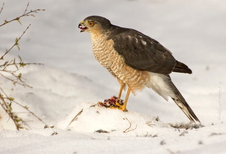 A Sharp-shinned Hawk devours a starling it has captured. Photo by Laura M. Eppig. Check out her excellent nature photography at http://laurameppigphotography.smugmug.com