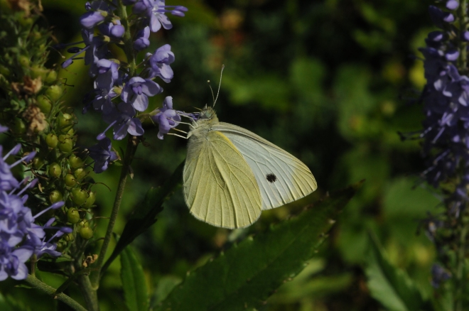 A Cabbage White Butterfly (Pieris rapae) Photo by Frederick Gralenski
