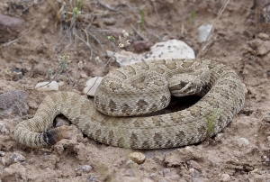 A Midget Faded Rattlesnake is well camouflaged against the desert ground. Photo by Kevin Urbanek.