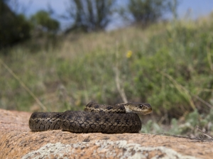 A Terrestrial Gartersnake, perhaps the most frequently seen snake in the Grand Valley. Photo by Kevin Urbanek