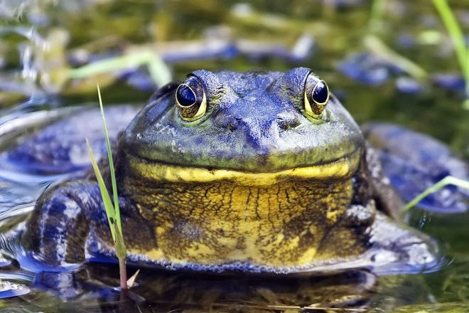 American Bullfrogs are the largest frogs in North America, measuring up to 8 inches from nose to tail and weighing up to 1.5 pounds. Photo by Alan D. Wils.