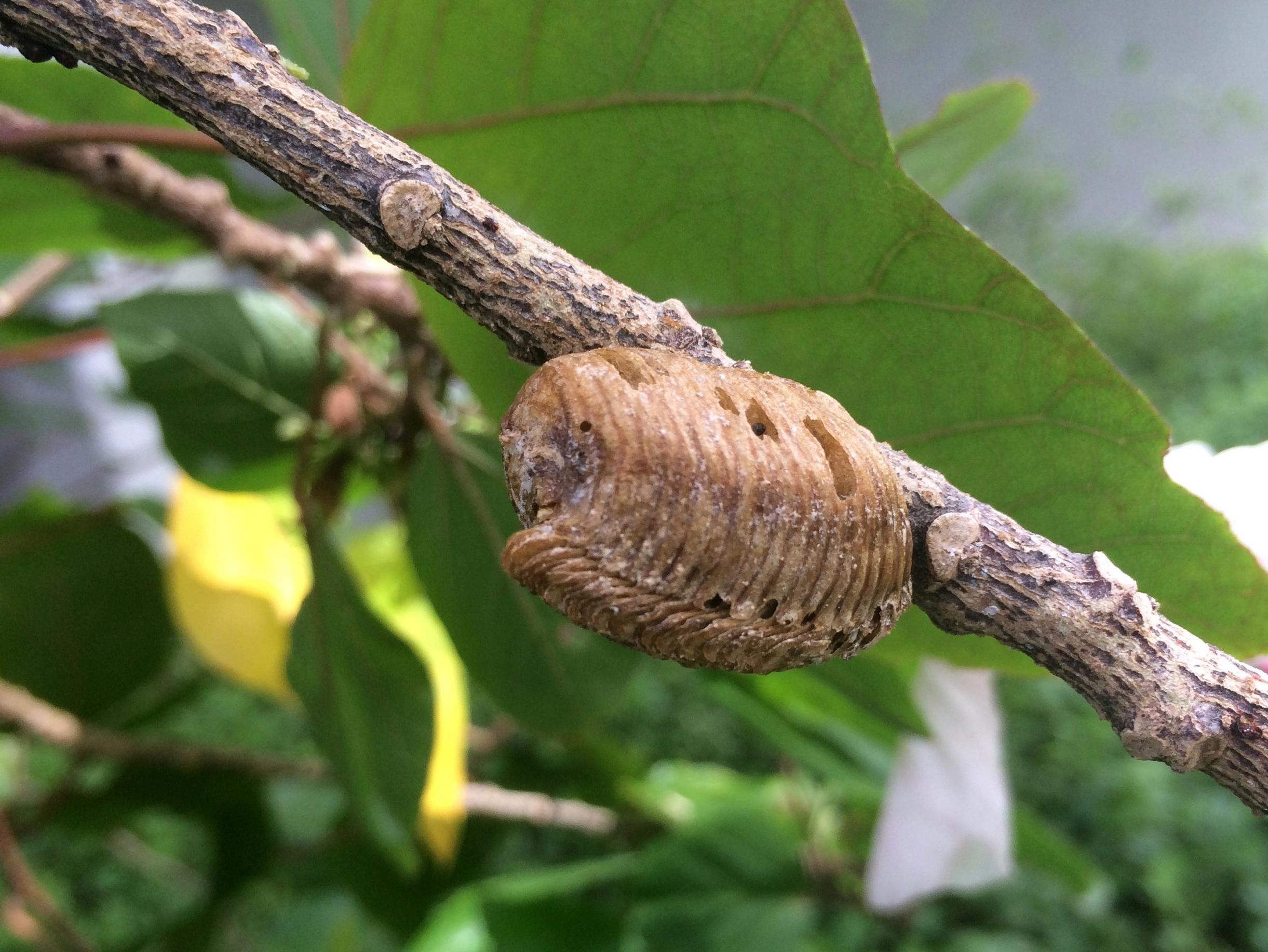 Praying mantis – Pica hudsonia