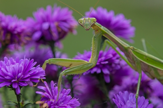 Praying Mantis by Laura Eppig