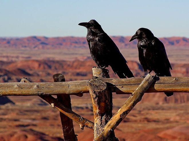 Common Ravens, public domain