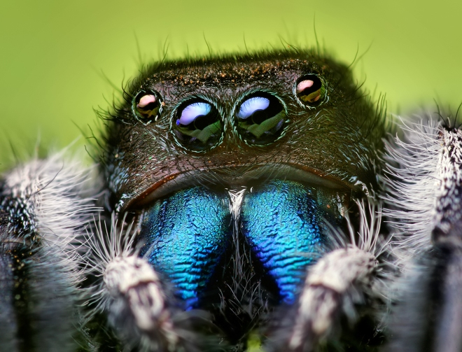 jumping-spider-eyes-by-opoterserwikimedia